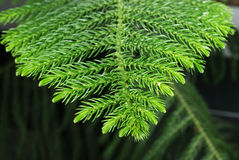 Branch of araucaria tree. Closeup of a branch of green araucaria tree growing in flowerpot Stock Photo