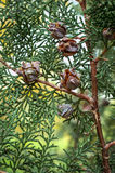 Branch arborvitae, an evergreen plant with cones.  Royalty Free Stock Photos