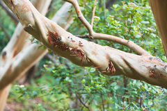 Branch of arbutus andrachne tree Stock Photos