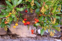 Branch of a Arbutus plant with red fruits. In the forest Stock Images