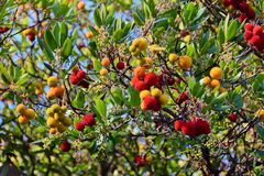 Branch of a Arbutus plant with red fruits. In the forest Royalty Free Stock Image