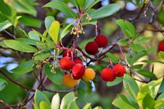 Branch of a Arbutus plant with red fruits. In the forest Stock Image