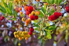 Branch of a Arbutus plant with red fruits. In the forest Stock Photo