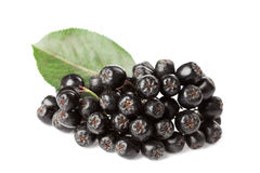 Branch of aronia melanocarpa or black chokeberry on white Stock Images