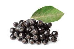 Branch of aronia melanocarpa or black chokeberry on white Stock Photography