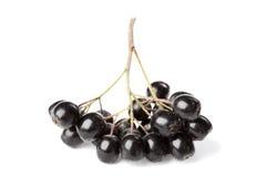 Branch of aronia melanocarpa or black chokeberry on white Royalty Free Stock Photo