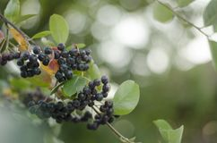 Aronia. Branch of aronia tree with berries and leaves royalty free stock photos