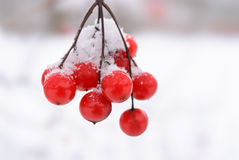 Branch of ash-berries Stock Images