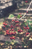 Branch of ash berry in autumn park Royalty Free Stock Photography