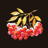 Branch of ashberry. Beautiful image with watercolor hand drawn branch of ashberry Royalty Free Stock Photo