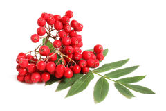 Branch of ashberry with green leaf Royalty Free Stock Images