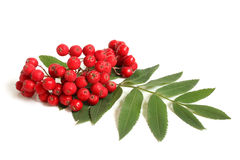 Branch of ashberry with green leaf Royalty Free Stock Photos