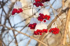 Branch of ashberry under snow Royalty Free Stock Image