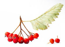 Branch of ashberry Stock Image