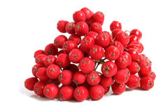 Branch of ashberry Stock Photos