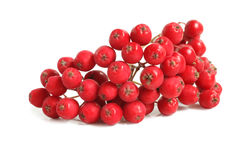Branch of ashberry Royalty Free Stock Photo
