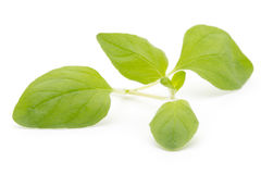 Branch of asian basil isolated on white background. Royalty Free Stock Images