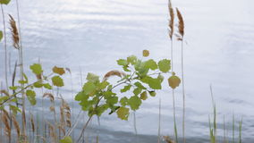 Branch aspen on a background of water stock video
