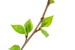 Branch aspen tree with spring buds Stock Photo