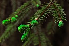 Branch ate with green needles Royalty Free Stock Photos