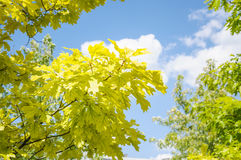 Branch of Aurea red Oak Quercus rubra Aurea on a background of blue sky during summer Sunny weathe Stock Photo