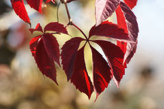 The branch of the autumn grape with red leaves. Parthenocissus. Royalty Free Stock Image