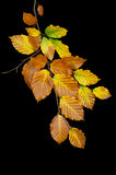 Branch with autumn leaves Royalty Free Stock Images