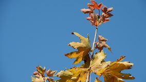 Branch with autumn leaves against the blue sky.  stock video