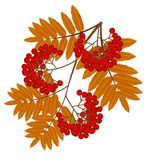 Branch with autumn leaves and berries of wild ash Royalty Free Stock Photography