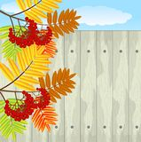 Branch with autumn leaves and berries of wild ash Stock Photography