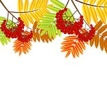 Branch with autumn leaves and berries of wild ash Royalty Free Stock Photos