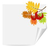 Branch with autumn leaves and berries of wild ash Royalty Free Stock Image
