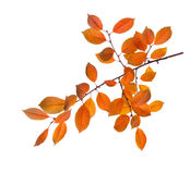 Branch of autumn leaves Royalty Free Stock Photo