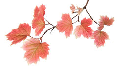 Branch of autumn leaves Stock Images