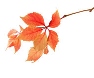 Branch of autumn leaves. Isolated on a white background.  Parthenocissus quinquefolia Royalty Free Stock Photo