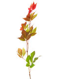 Branch of autumn leaves Royalty Free Stock Photography