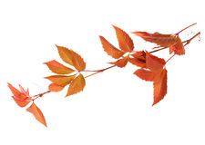 Branch of autumn leaves isolated on a white background. Parthenocissus quinquefolia. studio shot Stock Images