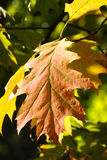 Branch of autumn leaves in park Royalty Free Stock Photo