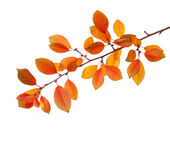 Branch of autumn leaves. Royalty Free Stock Image