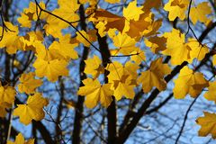 Branch of autumn maple Stock Photography
