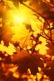 Branch of autumn maple foliage with sunlight Stock Image