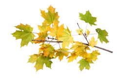 Branch of autumn maple leaves on white background royalty free stock photography