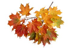 Branch of autumn maple leaves on white background stock image