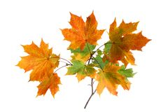 Branch of autumn leaves isolated on white background royalty free stock photo