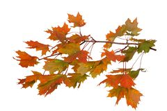 Branch of autumn leaves isolated on white background stock photos