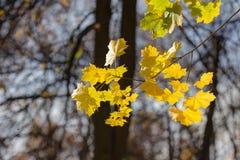 Branch of autumn maple tree Stock Photos