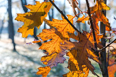 Branch of autumn maple tree with golden foliage Stock Image
