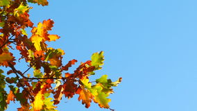 Branch With Autumn Multi-Colored Leaves Hanging On. This is a very picturesque shot of the blue sky and one branch of an oak tree in vibrant autumn colours on stock footage