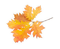 Branch of autumn oak on a light background Stock Photos