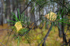 Branch autumn pine. S fallen on them yellow leaves Royalty Free Stock Photo